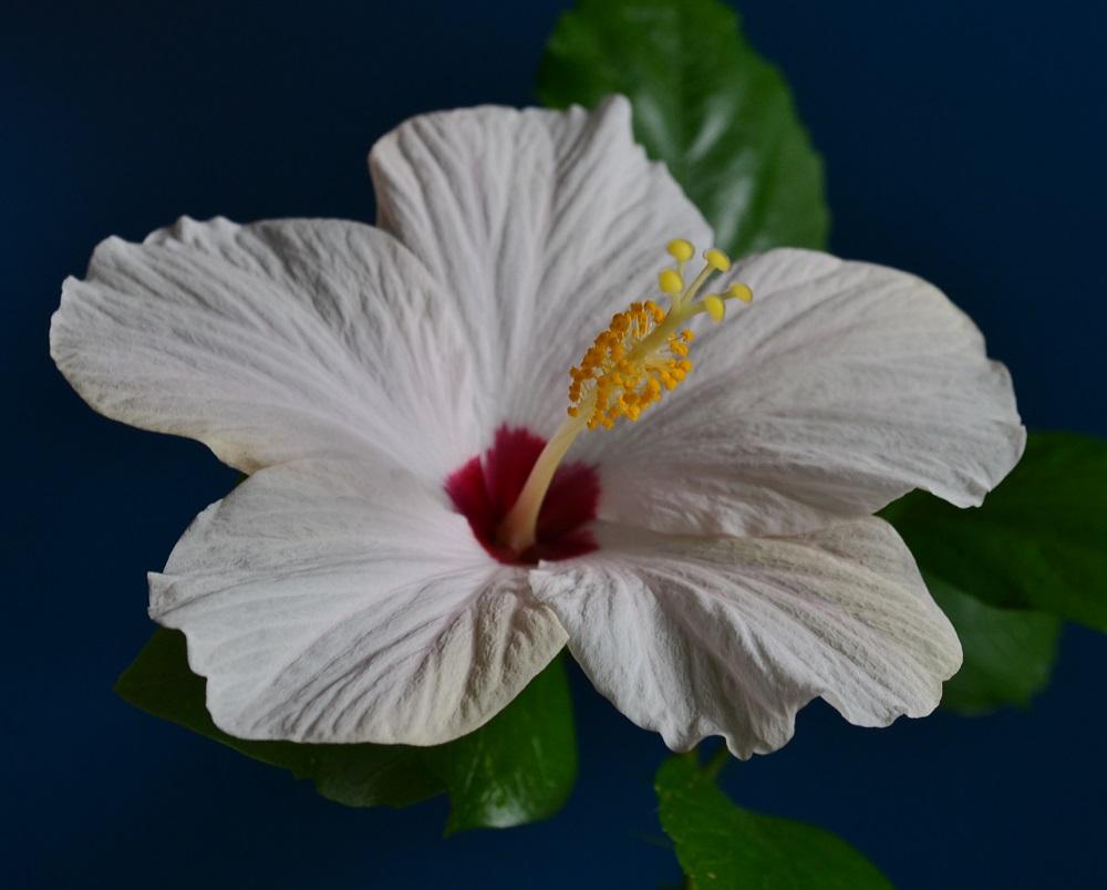 Hibiscus sabdariffa pierdere în greutate, Ceai din hibiscus pentru pierderea în greutate