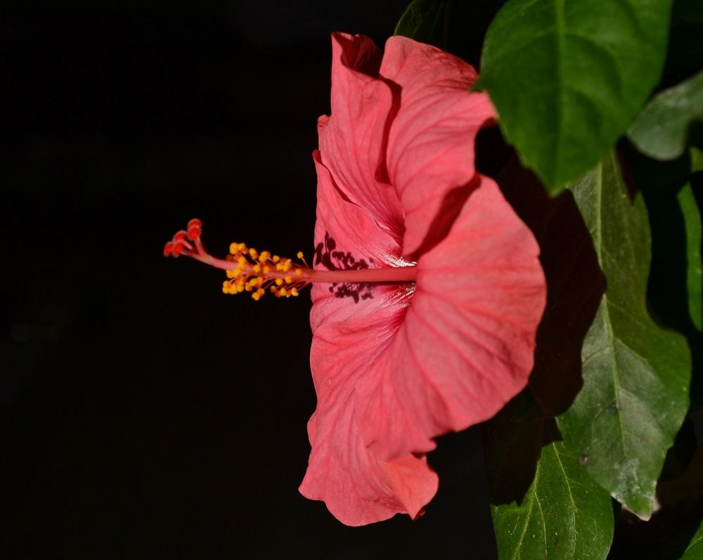 hibiscusul pierde în greutate