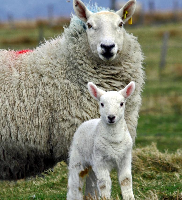 cauze de pierdere în greutate oi