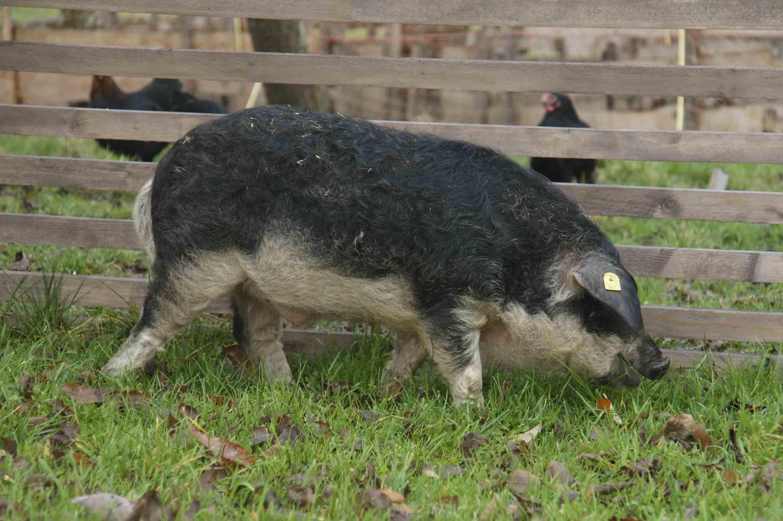 Cât scade porcul la tăiere: calcul greutate finală în carcasă