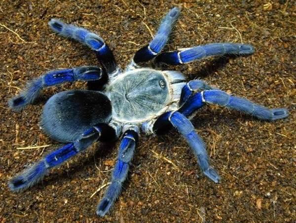 scădere în greutate în tarantule