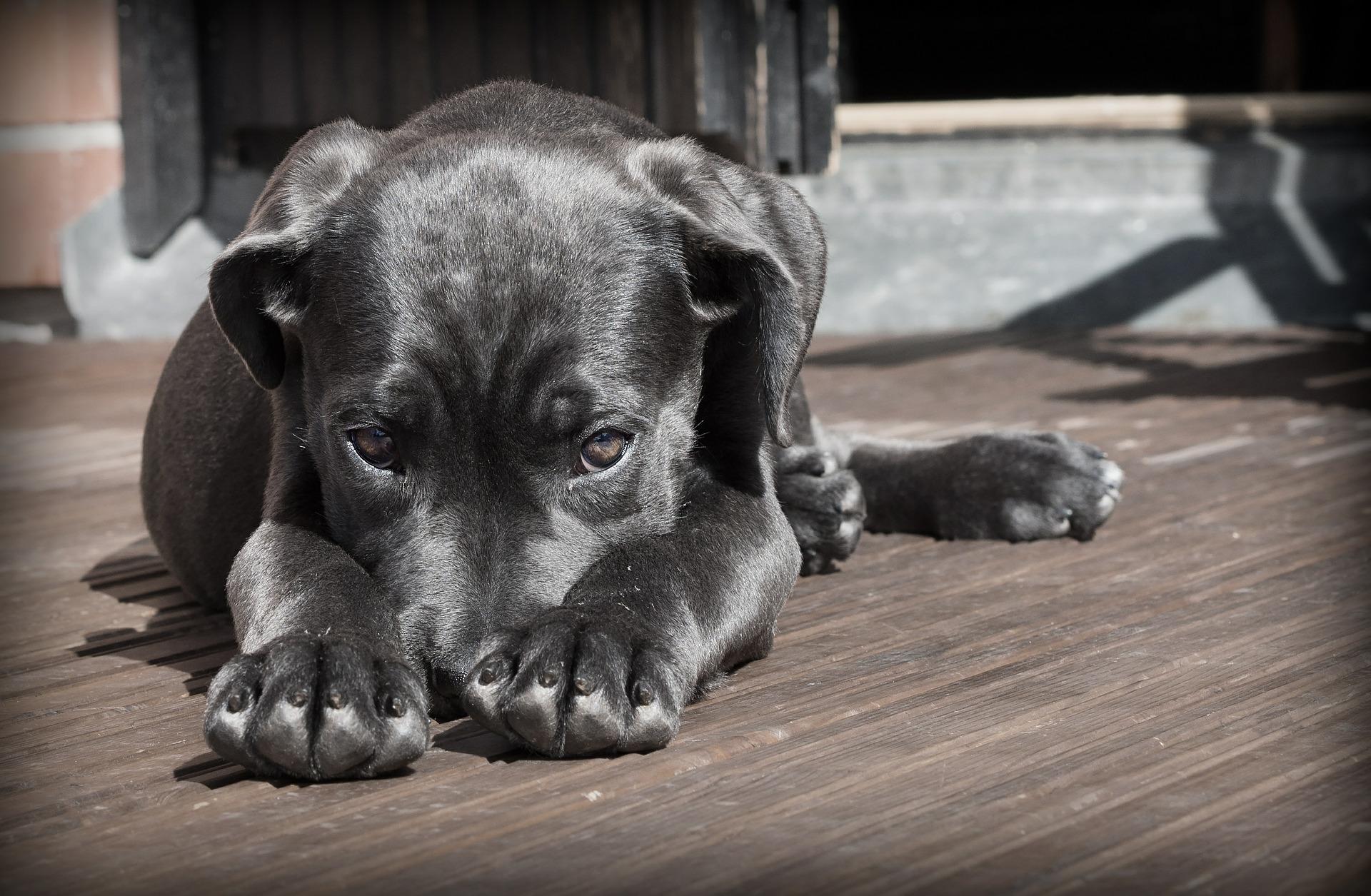 Se poate! Un câine a slăbit 20 de kilograme printr-o dietă sănătoasă