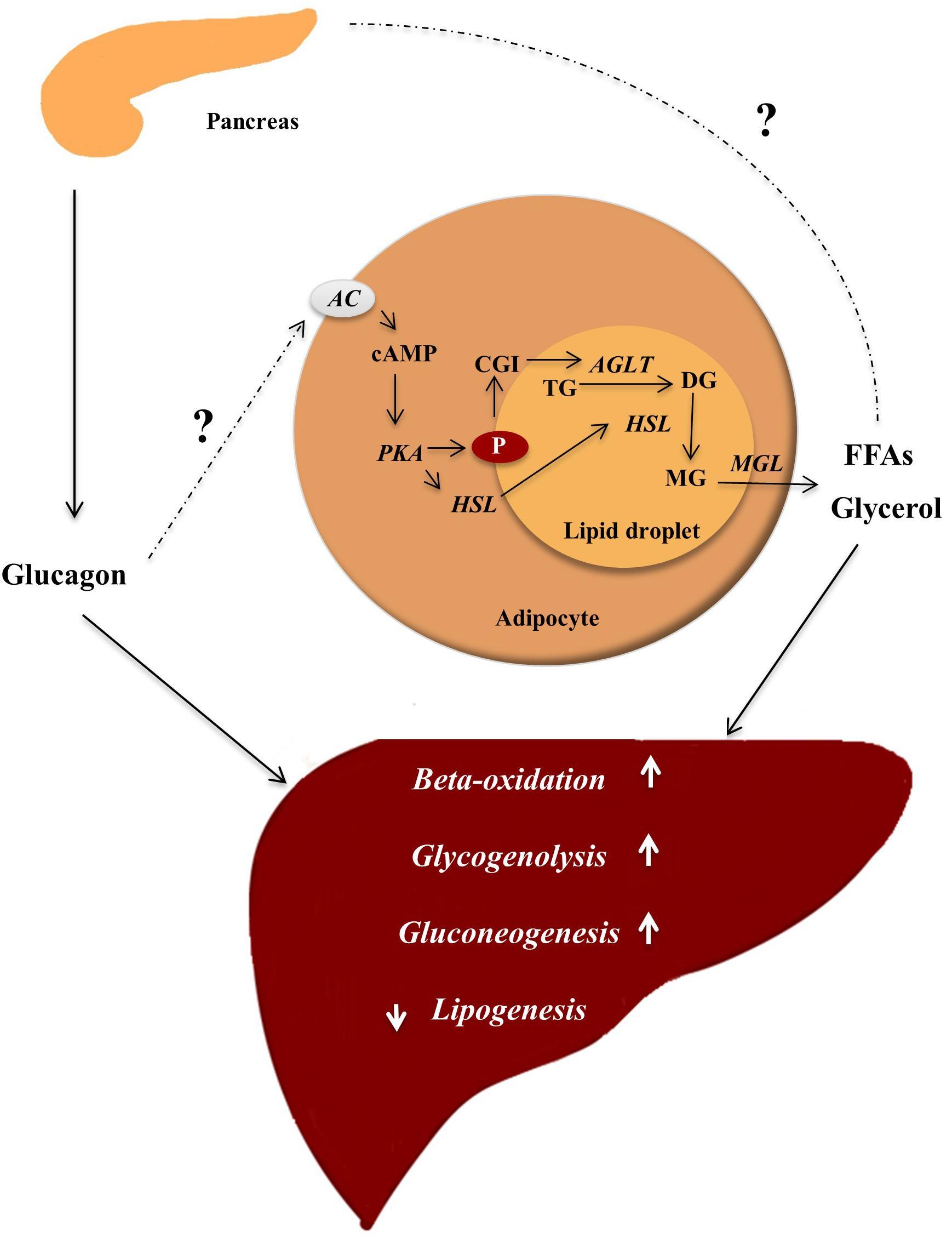 glucagon de ardere a grăsimilor baterie arzător de grăsime